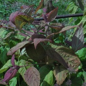 Красивая окраска листьев на спирее