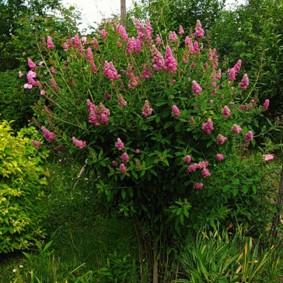 Розовые соцветия на ветка листопадного кустарника