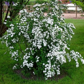 Белые кисти цветков на стеблях спиреи