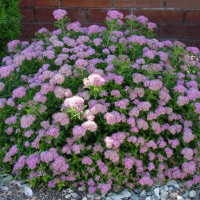 Сиреневые цветки на ветках спиреи
