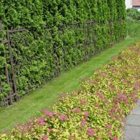Низкие кустики спиреи вдоль садовой дорожки