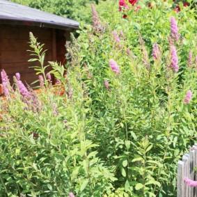 Спирея серая в палисаднике загородного участка