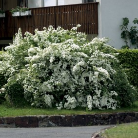 Поникшие ветки с белыми цветками