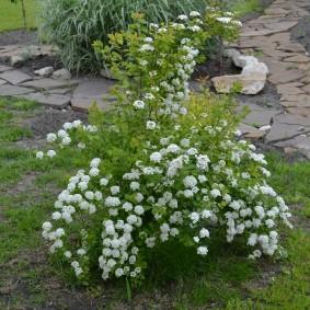 Молодой кустик спиреи с цветками небольшого размера