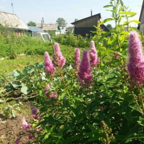 Цветущие метелки розового окраса