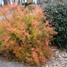 Осенняя окраска высокорослой спиреи