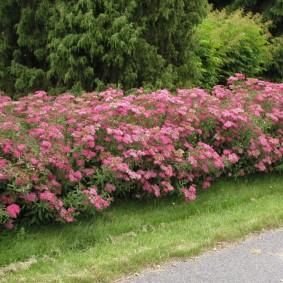 Живая изгородь из кустарников с розовыми цветками