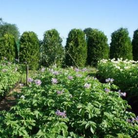 Цветущий картофель на участке с изгородью из туи