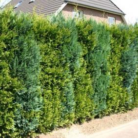 Живая стена из вечнозеленых туй