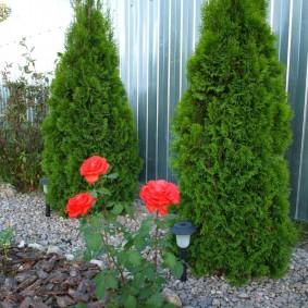Красные розы перед туями Смарагт