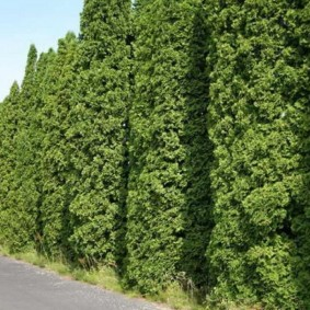 Живая стена из зеленых туй