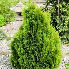 Туя западная в саду восточного стиля