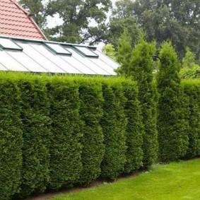 Озеленения туями периметра садового участка