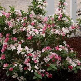 Обильное цветение вейгелы раннего сорта