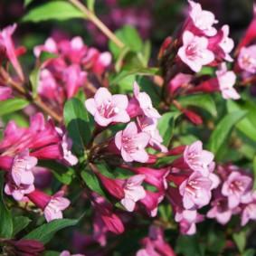 Цветки в форме колокольчиков на ветках кустарника