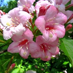 Крупные цветки розового цвета