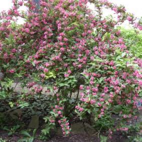 Высокий кустарник с розовыми цветками
