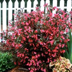 Красные цветки на кустарники у белого забора