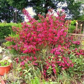 Красно-розовые цветки на листопадном кустарнике