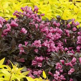 Желтые листья гибридной вейгелы низкого роста