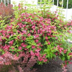 Крупные цветки на толстых ветках вейгелы
