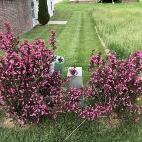Цветущие кустарники на садовом участке