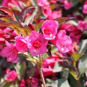 Ярко-розовые цветки в форме колокольчиков