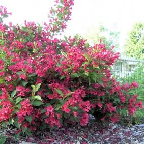 Пышный куст с розовыми цветками