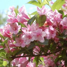 Крупные цветки с розовыми лепестками