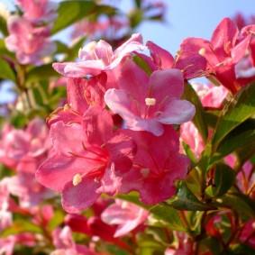Роскошные цветки с пятью лепестками