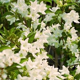 Белые соцветия на ветках кустарника