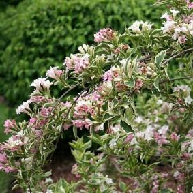 Мелкие цветочки на прочных ветках