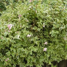 Высокий куст вейгелы в начале периода цветения