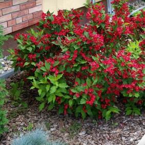 Низкорослая вейгела с красными соцветиями