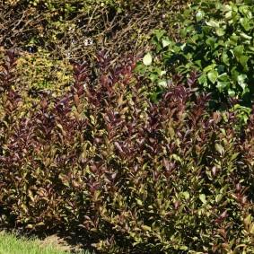 Красивая окраска листьев декоративного кустарника