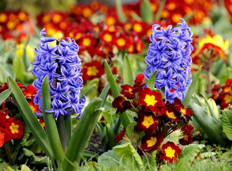 Цветущие стрелки весенних гиацинтов