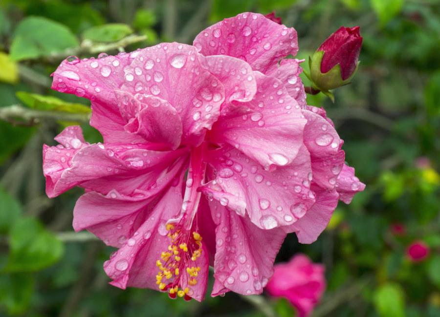 Махровый цветок вечнозеленого гибискуса китайского