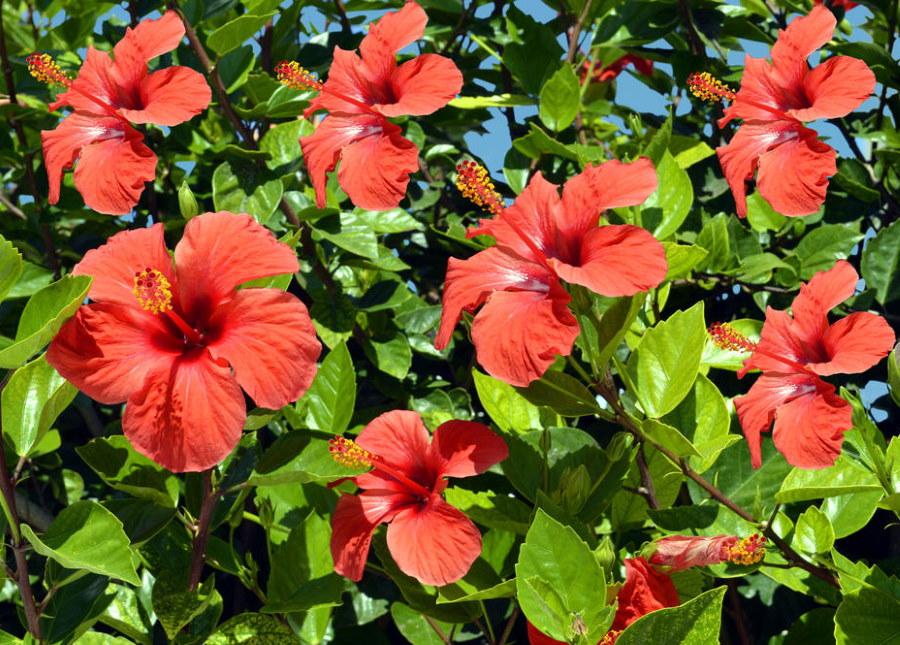 Крупные цветки алого цвета на китайском гибискусе