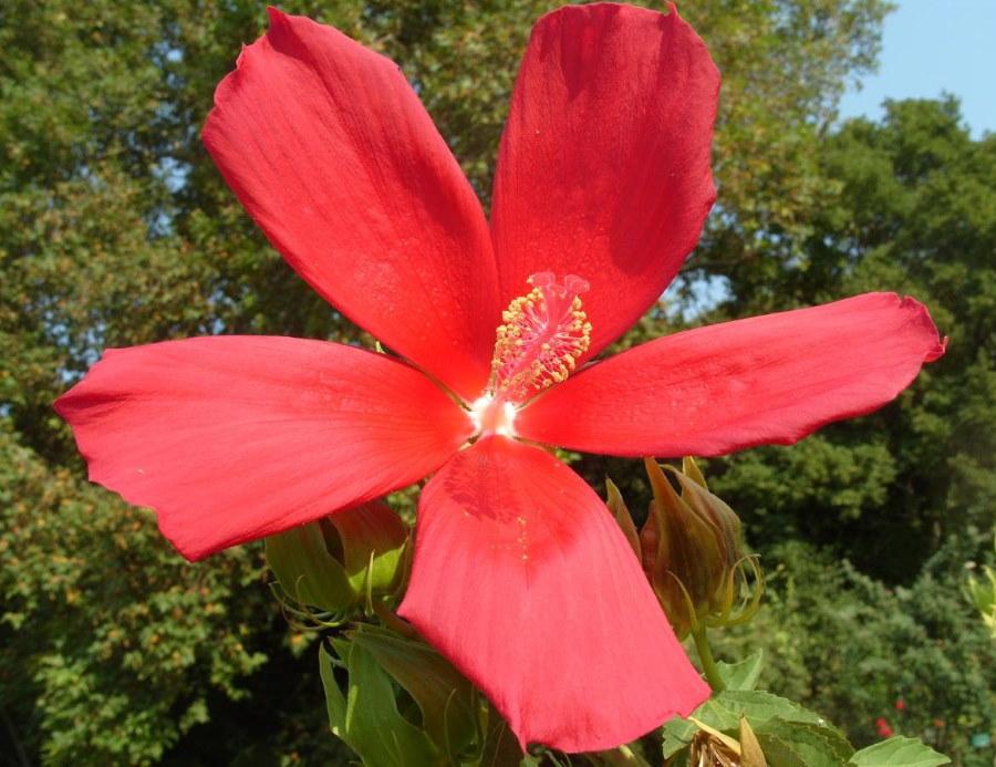 Алая окраска цветка гибридного гибискуса Русанова