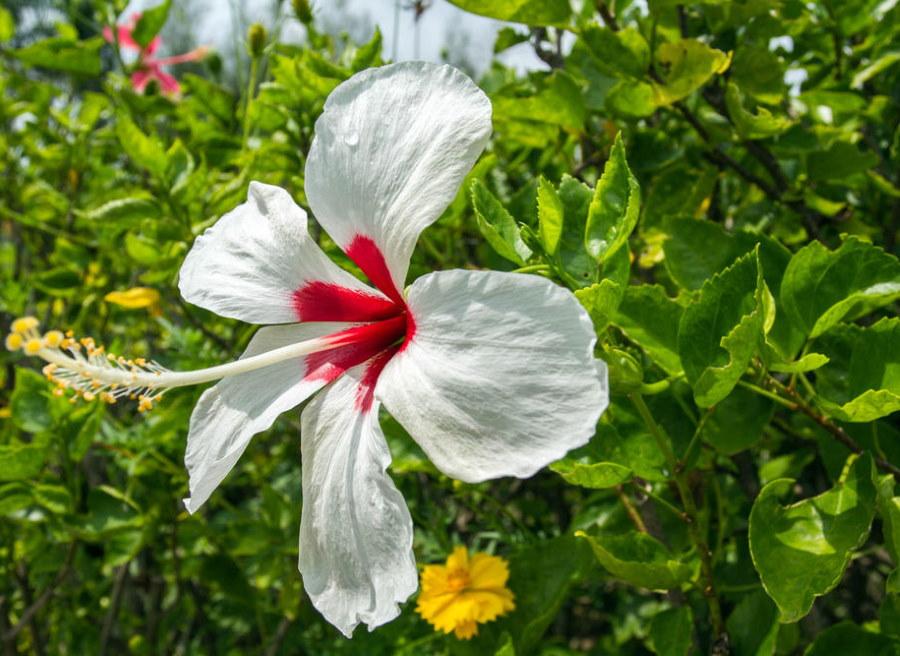 Белый цветок гибискуса с красной сердцевиной