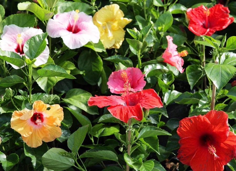 Разноцветные цветки многолетнего гибискуса сирийского