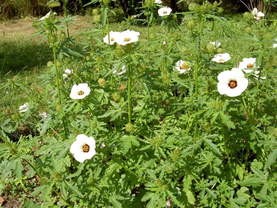 Одиночные цветки на стеблях травянистого гибискуса