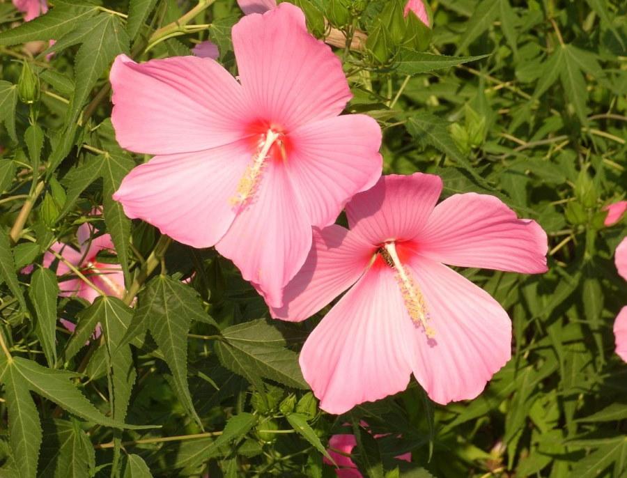 Светло-розовые цветки гибридного гибискуса