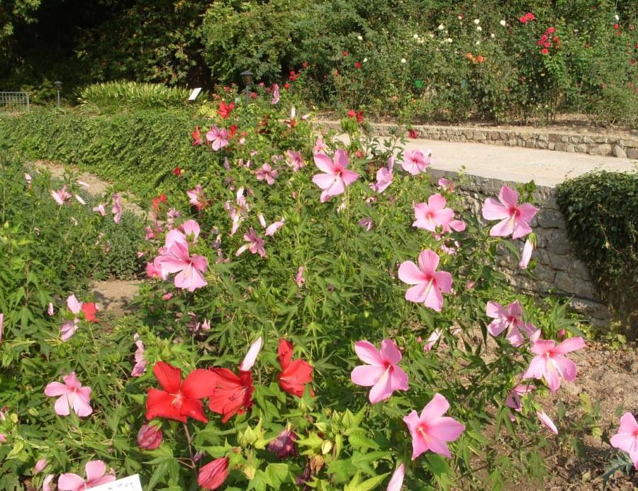Групповая посадка травянистых гибистусов на клумбе ботанического сада