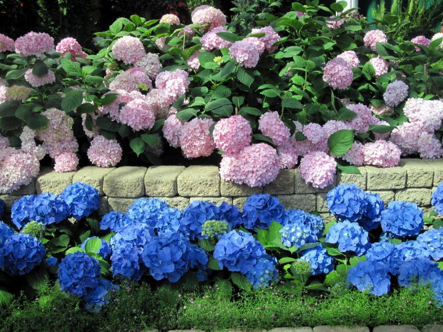 Кустарниковая гортензия вдоль подпорной стенки на садовом участке