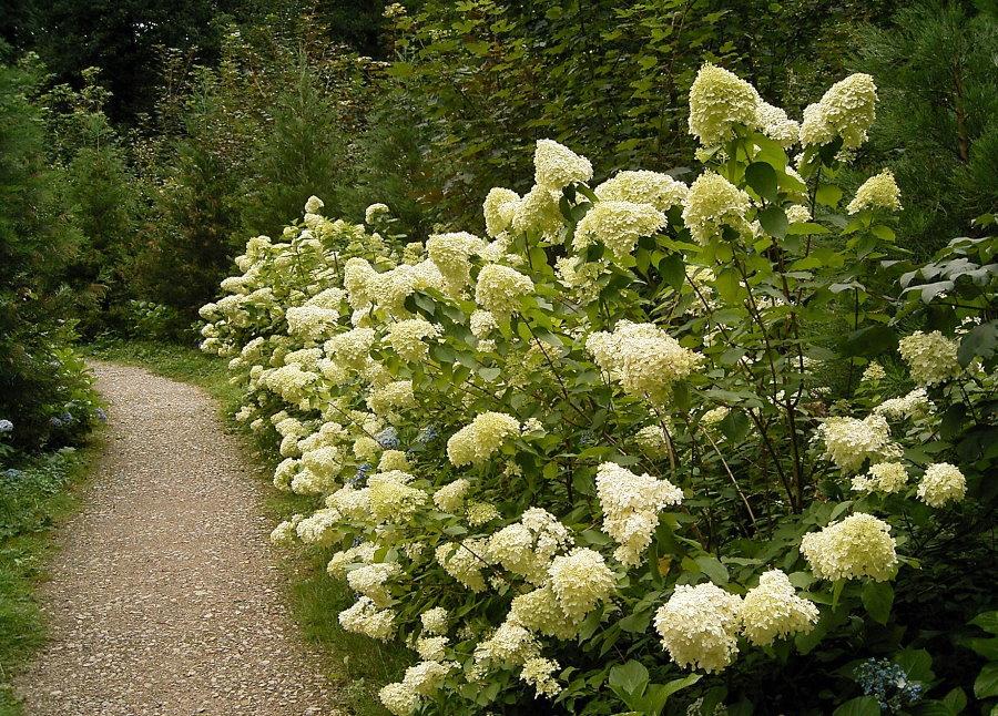 Цветение метельчатой гортензии вдоль гравийной дорожки