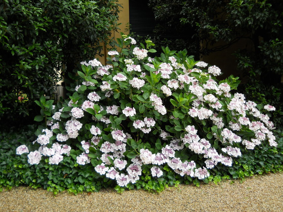 Куполообразные соцветия на ветка гортензии почвопокровной