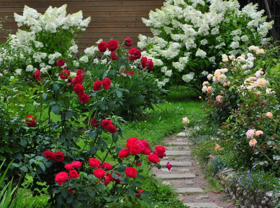 Сочетание гортензии с розами в ландшафте сада
