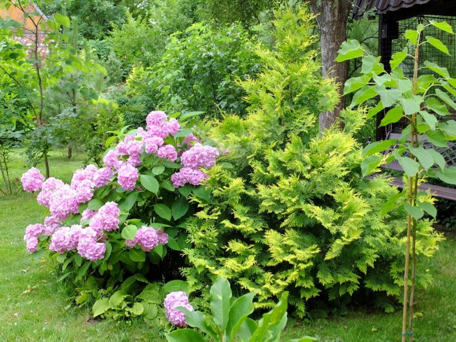 Садовая гортензия вместе с пирамидальной туей