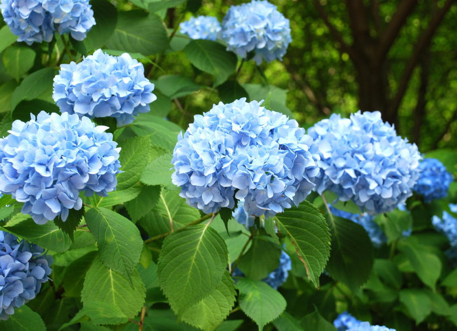 Нежно-голубые цветки на ветках садовой гортензии